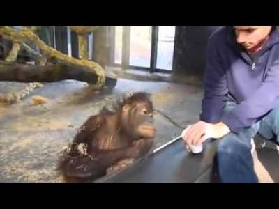 這男人在猩猩面前變魔術,想不到天真的猩猩的反應是...