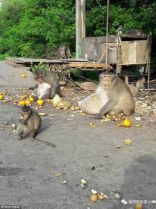 伙食太好,這猴子把自己吃成一個球,大師兄變二師兄,心疼...