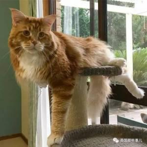 超狂貓咪「3年來只吃袋鼠肉長的比狗還大」食量超霸氣!體型大到「打破金氏紀錄」身長 1.18 公尺....