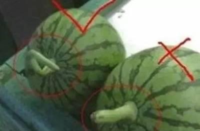 西瓜要買母的才好吃,可惜知道的人太少了!