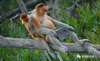 鼻子越大老婆越多 嗯,在這群東南亞猴子中,沒個大鼻子,很難找到老婆