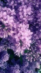 世界「最悲傷的7種花語」,越沉迷的愛戀果實會開出「越痛徹心扉的花朵」#2薰衣草:無望的愛…