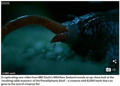 恐怖!近距離拍到了新西蘭巨型食肉蝸牛,和拳頭一樣大,有6000顆牙,吃蚯蚓好像吃意大利麵條!(慎入)