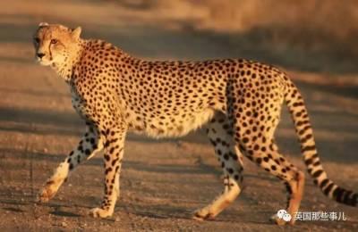 生性羞澀的獵豹,居然也需要擼狗才能漲自信!這畫風簡直萌炸了啊!