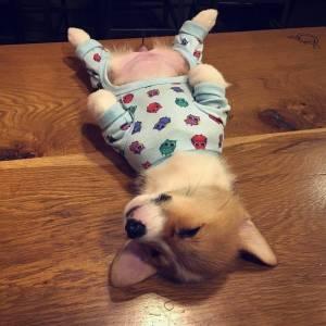 嬰兒期的小短腿…太萌了!又想騙我養柯基!