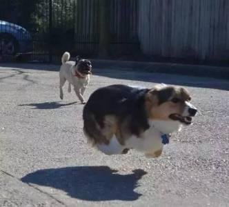 俄羅斯正在訓練柯基當警犬!別笑,人家腿短,但是會飛...