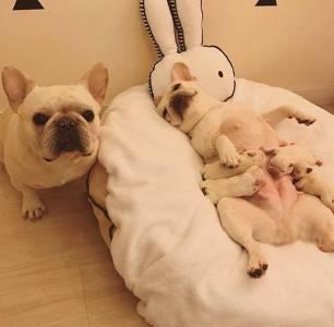 一對萌翻天的法鬥夫妻最近生了一窩寶寶,導致全家都萌炸了!