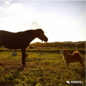 2011年日本大地震後,治癒了無數人的柴犬...牠的笑,真的有魔力啊!!