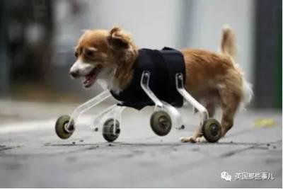 當手工大神愛上動物!他收來各種簡易器材,給動物做出各種定制義肢... 無比讚啊!