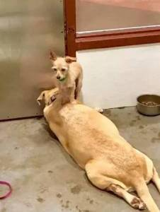 收容所一隻小狗總是站在大狗身上,而背後的原因讓人流淚....