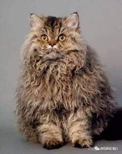 最近這隻披著羊皮的泰迪喵火了... 這一切,居然源於一隻流浪貓...