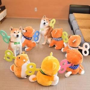 日本一博主給自家的兩隻柴犬買了幾十隻玩偶,然後…