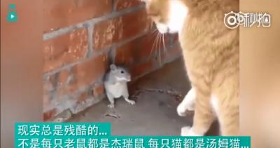 現實版湯姆和傑瑞,這些老鼠的求生欲可以說是非常強了