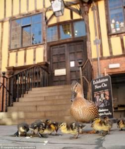 超熟門路!母鴨每天帶孩子在熟食店吃飯