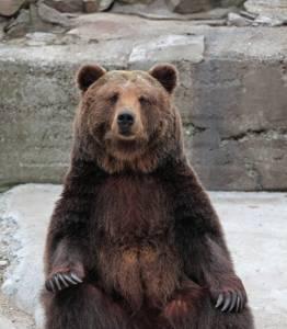 原來棕熊也會「咬咬」!牠們兩隻都還是公的...