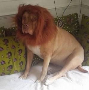 狗狗神剃毛變成獅子 主人用來嚇小偷