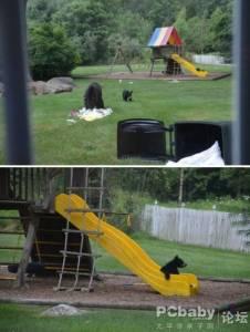 熊媽媽帶隊到民宅找食物,小熊卻玩起溜滑梯!