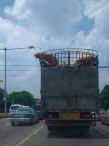 【一場說走就走的旅行】!紅遍大陸的「特立獨行的豬」