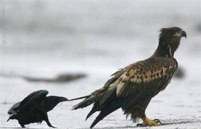 你所不知道的烏鴉!何等的犯賤行為XD