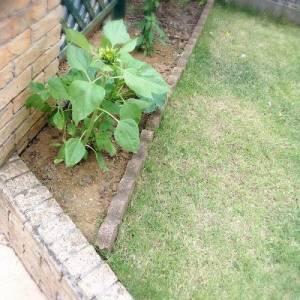 花圃長出一朵奇怪的向日葵...想明白後快要哭了...