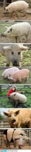 誒..你有聽說過草泥豬嗎?