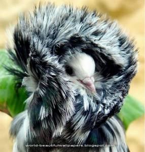 世界上最Fashion的鳥:雅各賓鴿子