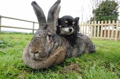 【萌】比狗還大的...超萌大兔子!!