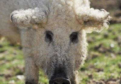 你絕對沒看過的草泥豬!超特別的生物!!