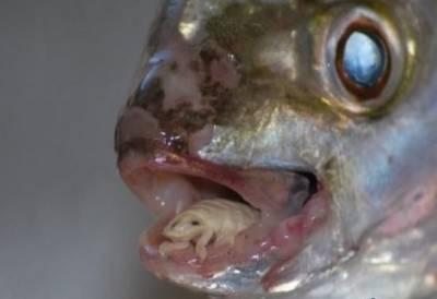 超噁心的生物!寄生在魚舌頭上的恐怖怪蟲!