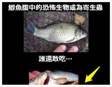 鯽魚腹中的恐怖生物或為寄生蟲