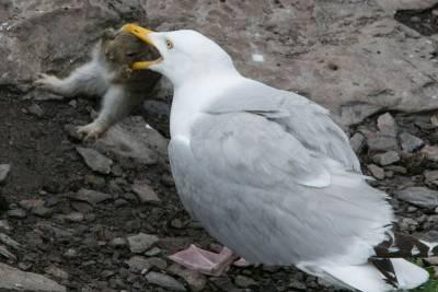 震驚!英厭倦吃魚海鷗生吞整隻兔子