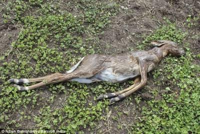 印度岩蟒整吞藍牛羚 場面血腥宛如「狂蟒之災」