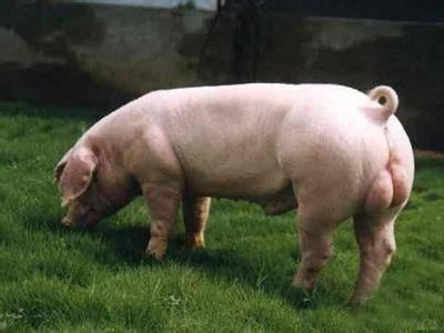 美男子性侵母豬被判了120年刑責!