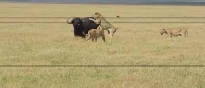 物競天擇!5隻獅子圍捕獵殺水牛