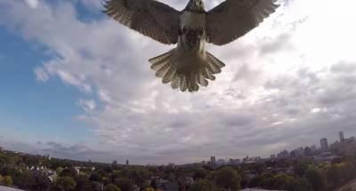 遙控飛機闖進老鷹地盤...直接被老鷹踹爆