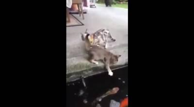 以後不要讓喵靠近湖邊!因為!!錦鯉竟然會從湖中跳出來吃掉「貓咪」!!