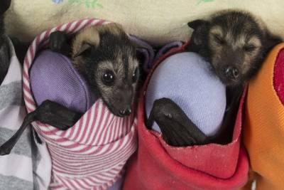 澳洲竟有專門照顧蝙蝠寶寶的醫院!!蝙蝠竟然也能這麼萌!!