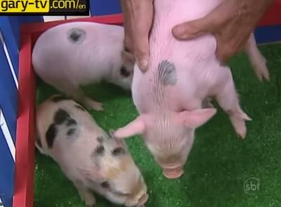 活豬被當眾絞成香腸...現場有些人吐了