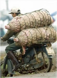 史上最誇張超載...你想過豬的感受嗎!