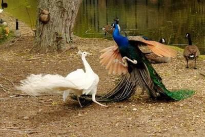 孔雀振翅而飛!你一定沒看過的畫面!太美了!