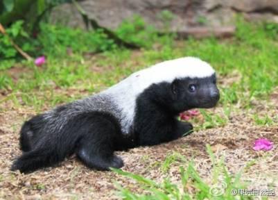 什麼動物這麼屌!!毒蛇咬不死它!熊遇到它也要遭秧!!