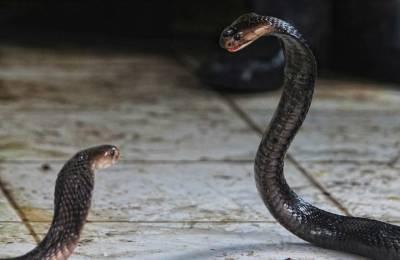實拍印尼宰蛇工廠,手工剝皮蛇屍 膽小誤看