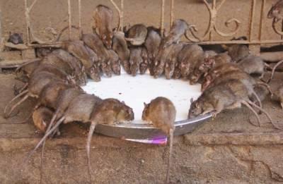 印度神廟供奉2萬隻老鼠!信徒吃的竟然是....