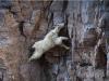 羊年到了,你知道羊有多厲害嗎?攀岩,走壁,上樹等都行!