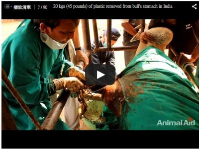 震驚!!這隻印度公牛的肚子裡,竟然裝了20公斤的塑膠袋!!(慎入)