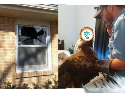 這隻可惡老鷹!撞進家中亂大便 破壞東西,離開前還作出不可原諒的表情!