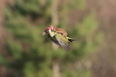 啄木鳥背著鼬鼠好溫馨!!但背後的真相卻教你直冒冷汗…太可怕啦!!