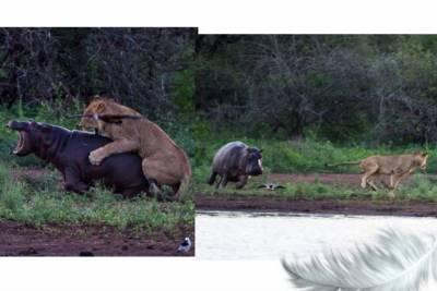 驚人!母獅狠咬小河馬,河馬母親竟對獅子做了這件事!母愛給人力量…