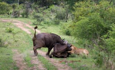 要是水牛被獅子攻擊了會怎麼樣?