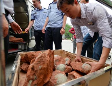 嚇壞工人!四川施工無意間挖出43顆巨大恐龍蛋!!
